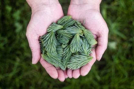 pine-leaves-691639_1280