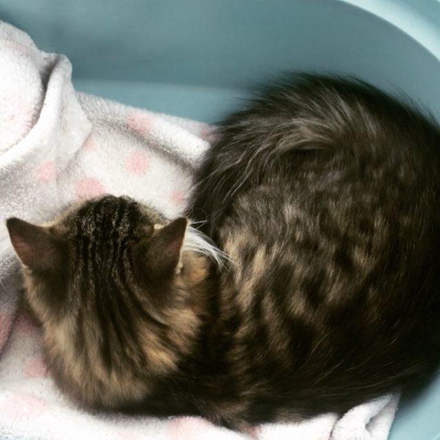 En route pour la maison! babycat newcat chatsiberien siberiancat taolechat