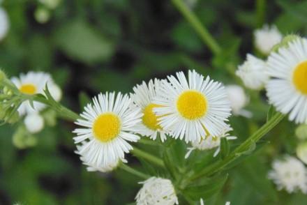camomille remède naturel eczéma